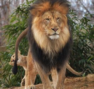 Как львенок укусил папашу захвост ичем это кончилось