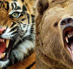 Тигр переоценил свои силы всхватке смедведем
